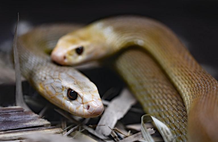 Ular Kobra Untuk Penyembuhan